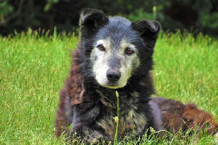 Seniorenfutter für ältere Hunde